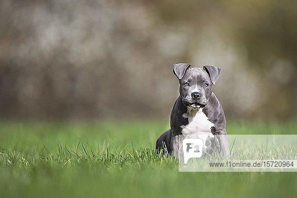 Stafford Terrier Welpe in Wiese sitzend  Österreich  Europa