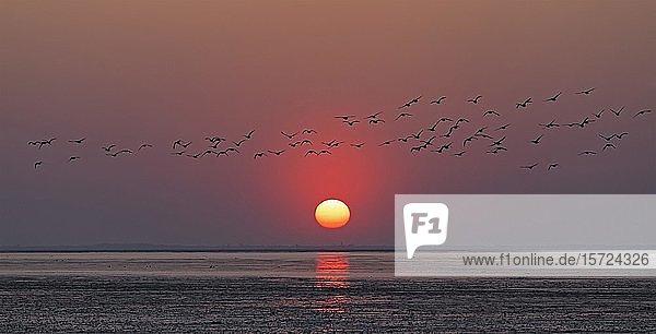 Vogelschar fliegende Wildgänse (Anser anser)  Sonnenuntergang über dem Meer  Neuharlingersiel  Ostfriesland  Niedersachsen  Deutschland  Europa