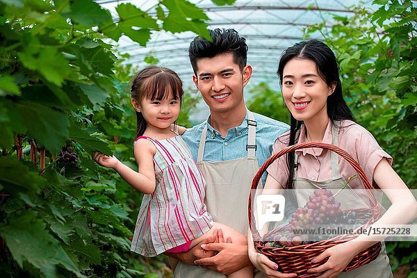 Oriental family picking grapes