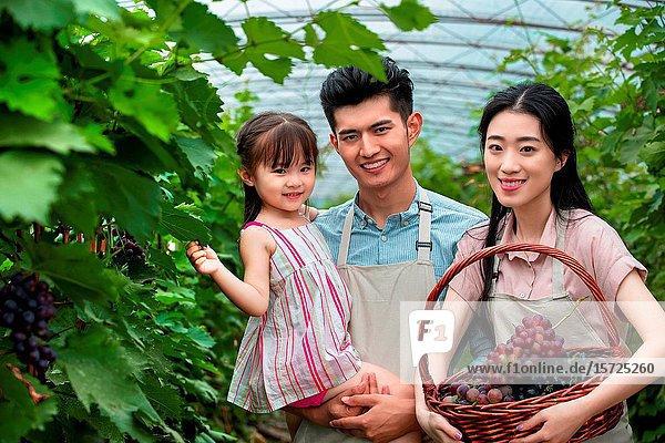 Oriental family reap grapes