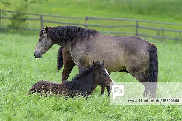 Domestic horse  mare with foal on the pasture.