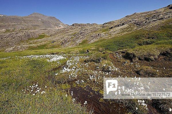 Bergige Landschaft mit Wollgras  Lónsoeræfi  Vatnajökull-Nationalpark  Island  Europa