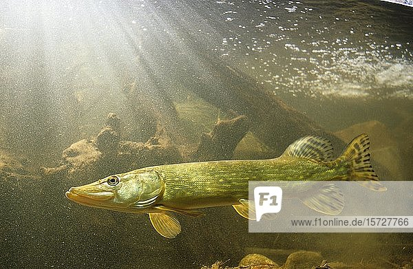 Hecht (Esox lucius)  captive  Frankreich  Europa