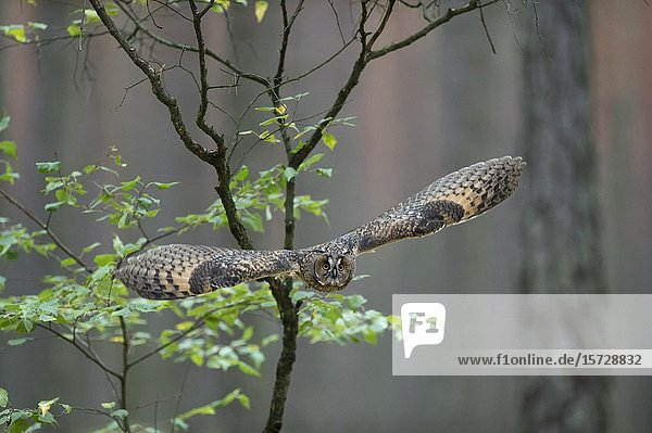 Indian Eagle-Owl / Rock Eagle-Owl ( Bubo bengalensis ) in flight  dynamic frontal shot  very detailed  bright eyes..