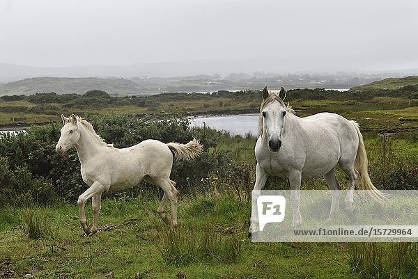 Connemara ponies  Ballinakill Bay  Letterfrack  County Galway  Connemara  Republic of Ireland  North-western Europe.