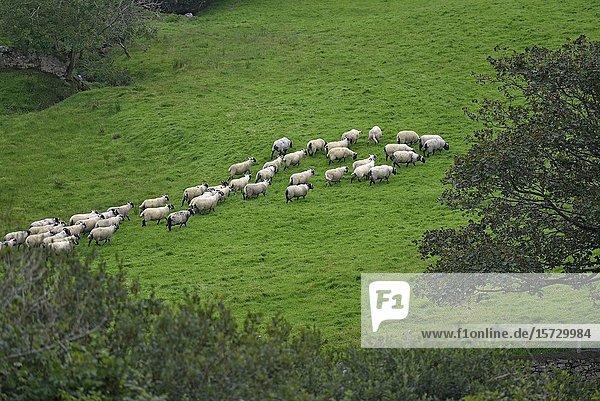 Flock of sheep near Clifden  Connemara  County Galway  Republic of Ireland  North-western Europe.