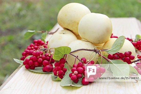 Schisandra and white apples. Still life with clusters of ripe schizandra and white apples