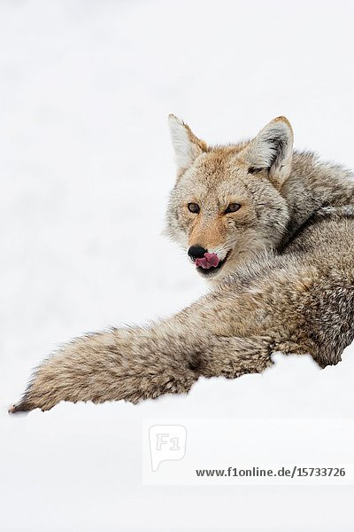 Coyote / Kojote ( Canis latrans ) in winter  lying in high snow  resting  licking its tongue  watching attentive  Yellowstone NP  USA..