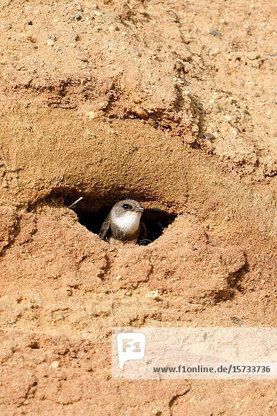 Sand Martin / Bank swallow / Uferschwalbe ( Riparia riparia) watching out of its nest hole digged in a sandy cliff of a sand pit.