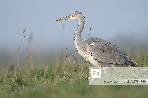 Grey Heron / Graureiher ( Ardea cinerea ) striding through a meadow  high grass  searching for food  in natural surrounding  typical pose  wildlife  Europe.