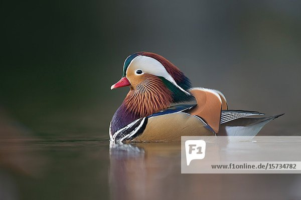 Mandarin Duck / Mandarinente ( Aix galericulata )  colorful drake in breeding dress  swims close  windstill day  in last light  nice reflections  Europe.