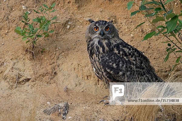 Eurasian Eagle Owl / Uhu ( Bubo bubo )  sitting  resting under a bush in the slope of a sand pit  looks directly towards the photographer  wildlife  Europe.