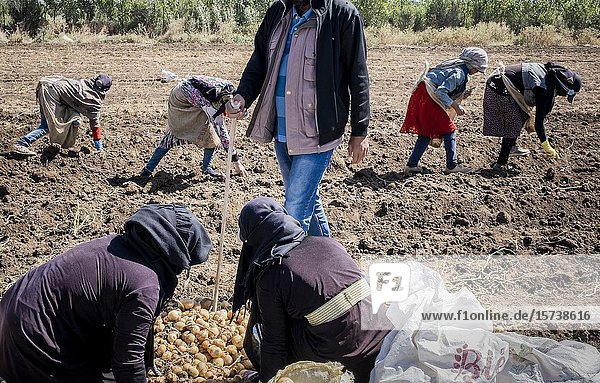 Foreman supervising the work of women and girls  picking the potato harvest  day laborers  mothers and daughters working in agriculture  syrian refugees  in Bar Elias  Bekaa Valley  Lebanon.