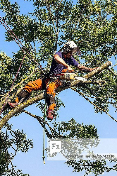 Tree surgeon at work bringing down a tree. Wiltshire England.