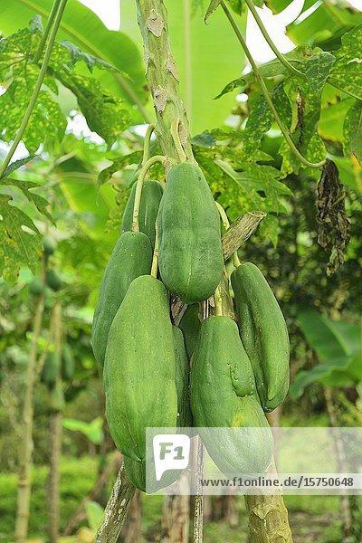 Papaya. Ecuador.