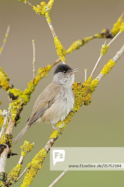 Blackcap ( Sylvia atricapilla ) perched in an elder bush  on elder twigs  singing  wildlife  Europe.
