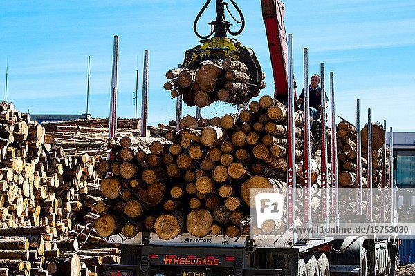 Stacking timber cut from local forests  awaiting export at Montrose Docks Scotland UK.