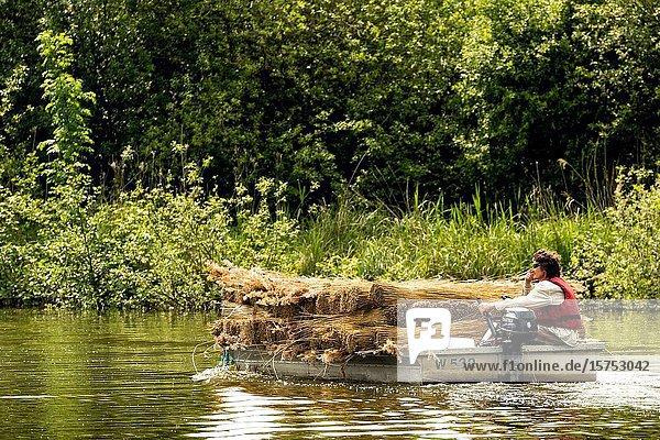 Transporting cut reeds for thatching at Ward Marsh Norfolk. UK.