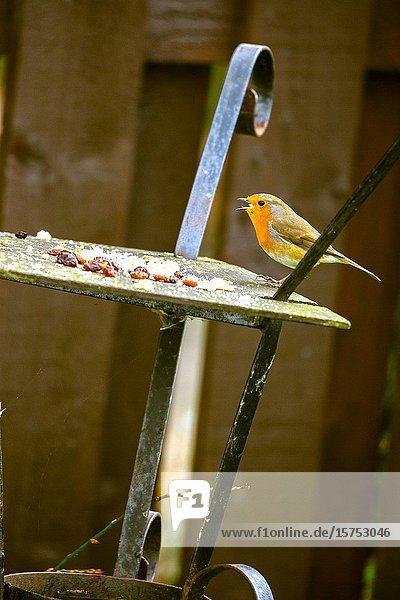 Robin feeding from garden birdtable. Scotland UK.
