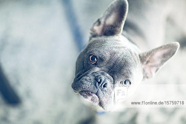Porträt einer französischen Bulldogge zu Hause