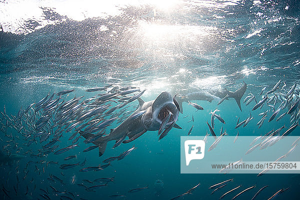 Sardinen-Köderbälle werden von mehreren Raubtieren getroffen