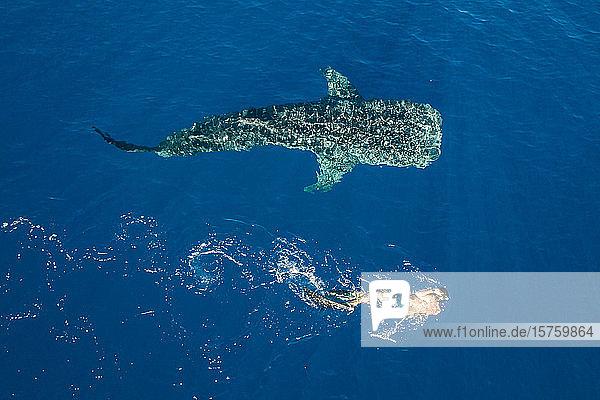 Mann schwimmt neben Buckelwal
