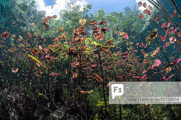 Unterwasseraufnahme von Lilien im Teich  Cenote  Mexiko