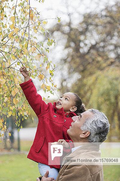 Großvater hebt Enkelin hoch  die nach Herbstblättern an einem Baum greift