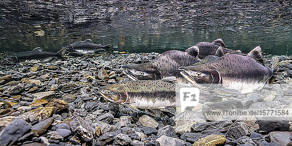 Pink Salmon (Oncorhynchus gorbuscha) female using her anal fin to probe her redd as four eager males wait to spawn with her in Hartney Creek  near Cordova  Alaska  during the summer. Another female with one male is doing the same thing about two meters away in the image background; Alaska  United States of America