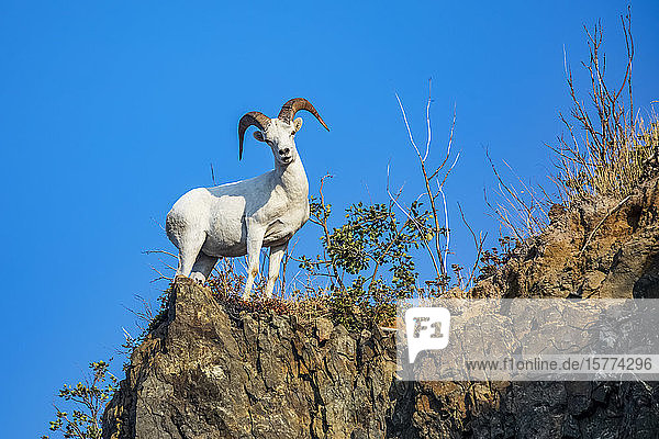 Dall sheep ram (Ovis dalli) looks down at photographer while feeding in the Chugach Mountains South of Anchorage  Alaska in South-central Alaska; Alaska  United States of America