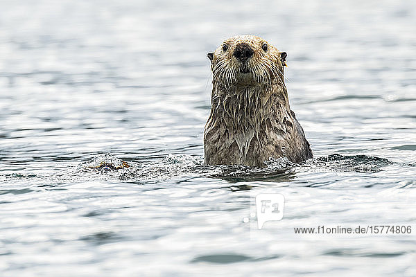 Sea otter (Enhydra lutris) checking out the photographer; Alaska  United States of America