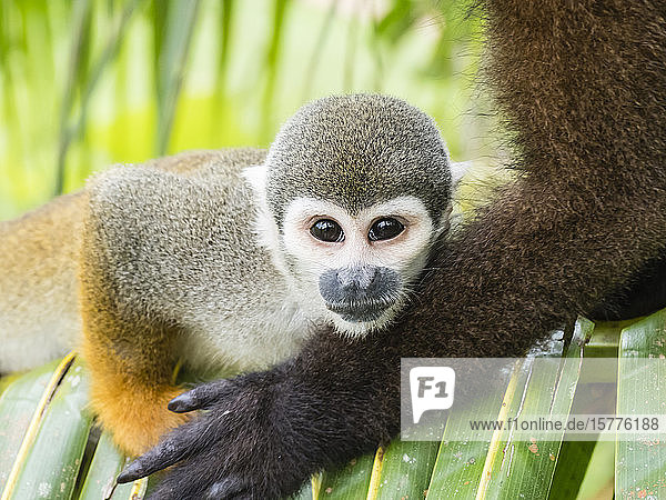 Adult common squirrel monkey (Saimiri sciureus)  in San Francisco Village  Amazon Basin  Loreto  Peru  South America