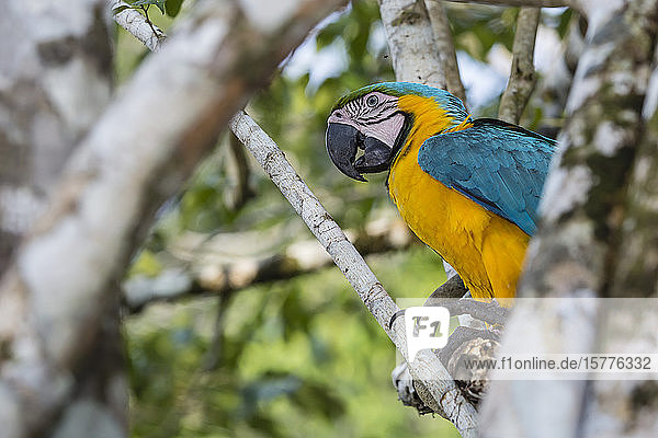 Adult blue-and-yellow macaw (Ara ararauna)  Amazon National Park  Upper Amazon River Basin  Loreto  Peru  South America