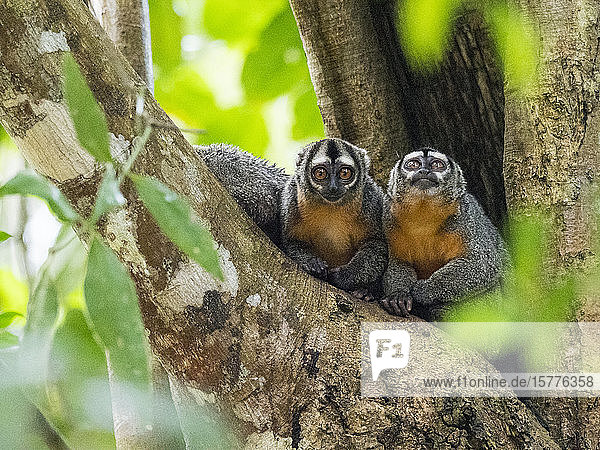 Adult Spix's night monkeys (Aotus vociferans)  in Pahuachiro Creek  Amazon River Basin  Iquitos  Peru  South America
