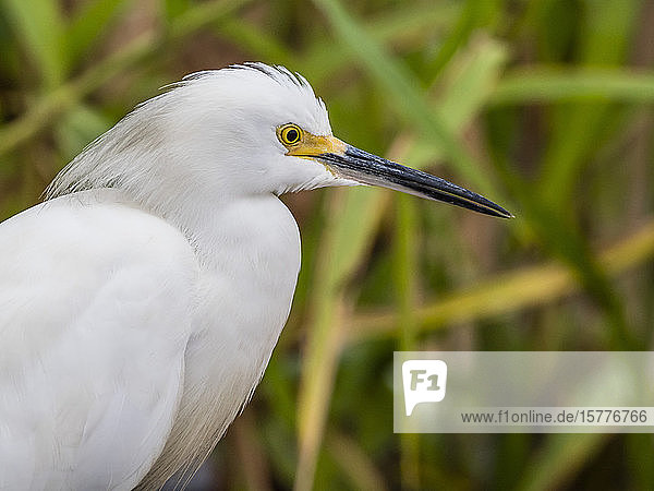 An adult snowy egret (Egretta thula)  Belluda Cano  Amazon Basin  Loreto  Peru  South America