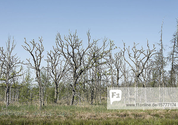 Abgestorbene Bäume Abgestorbene Bäume