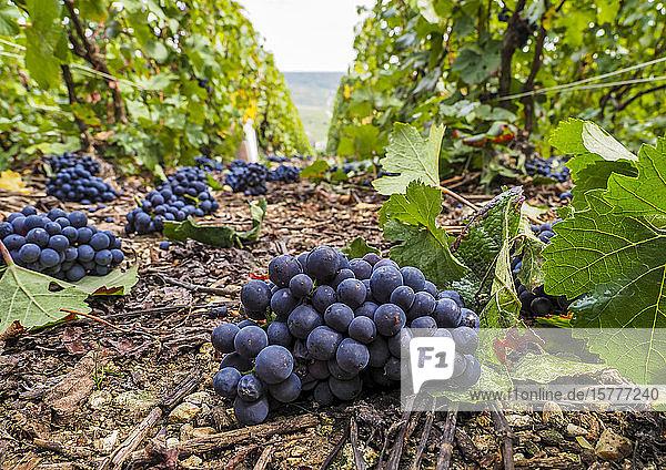 Weinberg  blaue Weintrauben Weinberg, blaue Weintrauben