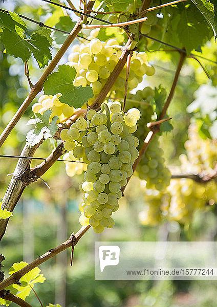 Weinstock mit weißen Trauben Weinstock mit weißen Trauben
