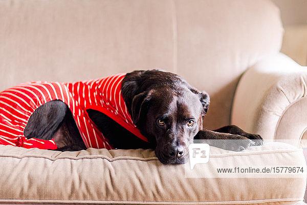 Haushund im T-Shirt auf dem Sofa