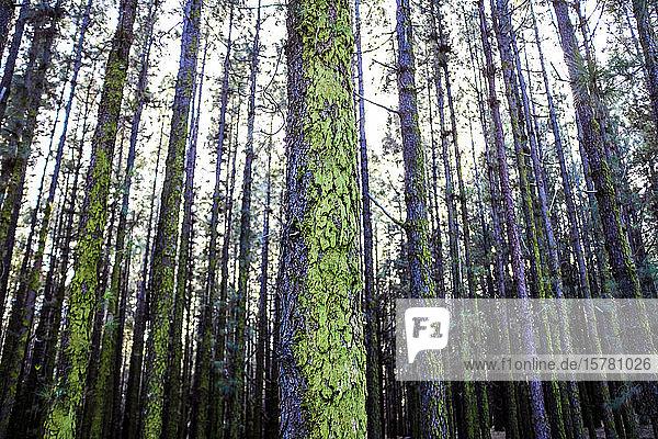 Spanien  Teneriffa  Bäume im Wald
