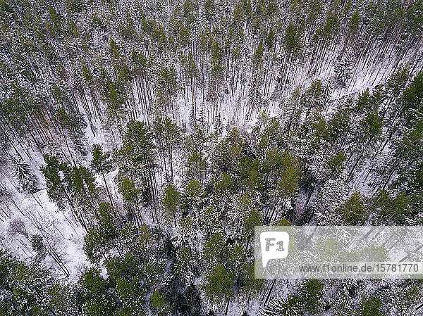 Russland  Gebiet Leningrad  Luftaufnahme des Winterwaldes