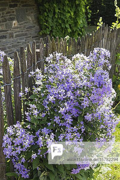 Deutschland  Nordrhein-Westfalen  Eifel  Monschauer Land  Region Monschau  Dorf Höfen  Alter Zaun und blaue Glockenblumen (Campanula patula)