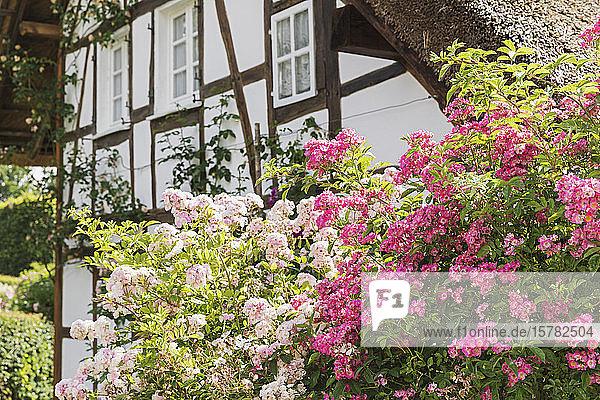Deutschland  Nordrhein-Westfalen  Eifel  Monschauer Land  Region Monschau  Dorf Höfen  Wanderrosen (Rambler)  die vor einem Fachwerkhaus wachsen