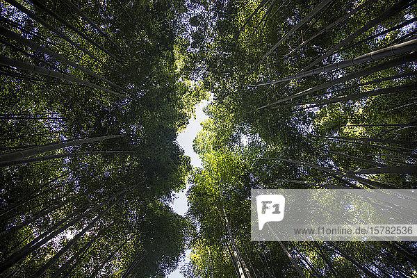 Japan  Tokio  Direkt unter Ansicht des Bambushains