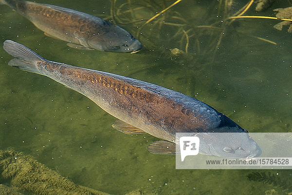 Deutschland  Baden-Württemberg  Mainau  Karpfen im Teich schwimmen