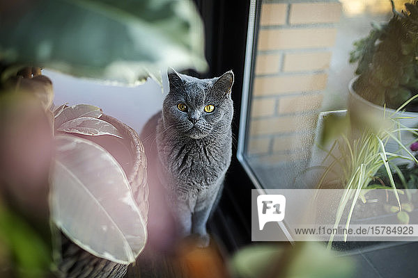 Portrait of grey cat at home