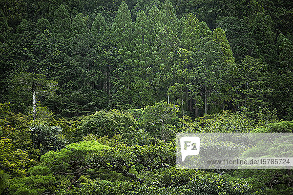 Japan  Kyoto  Grüner Wald