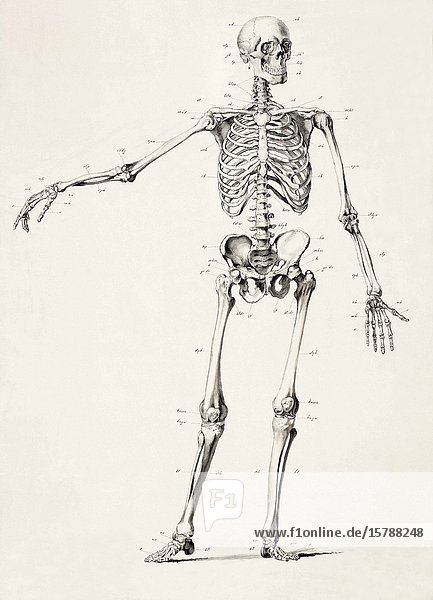 Human skeleton. Full body. After a 19th century work.
