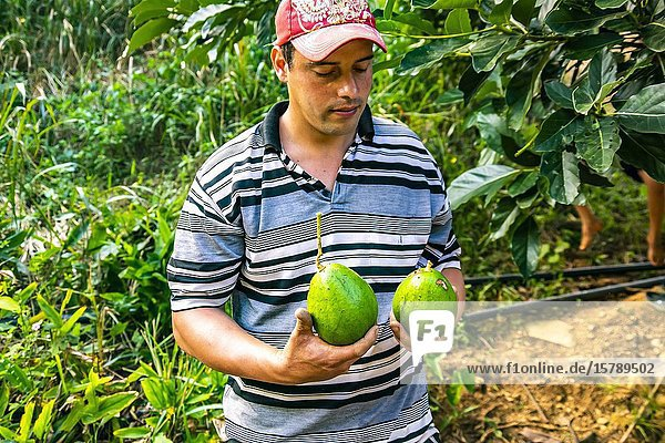 Farmer showing fresh avocados plucked from the tree in Topes de Collantes  Trinidad  Republic of Cuba  Caribbean  Central America.