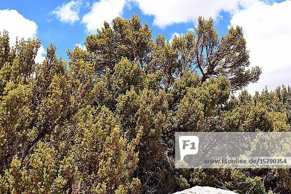 Queñua or queñoa de altura (Polylepis rugulosa) is an endangered small tree native to Andes Mountains. This photo was taken in Lauca National Park  Arica Parinacota Region  Chile.
